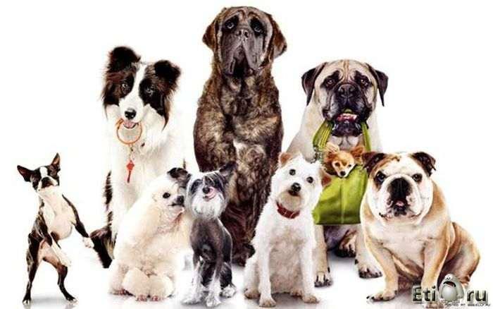 """10 самых умных пород собак """" Приколы, фото и видео приколы"""